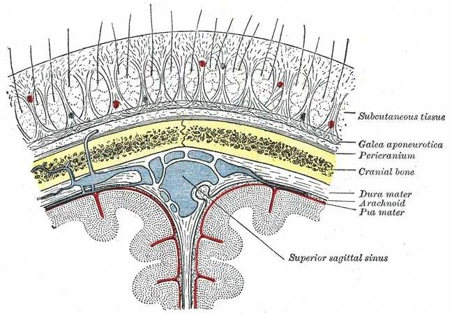 Sezione del cuoio capelluto. Photo: Henry Vandyke Carter [Public domain], via Wikimedia Commons