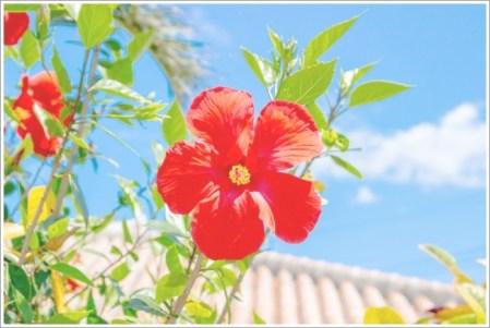 沖縄、夏、ハイビスカス、花