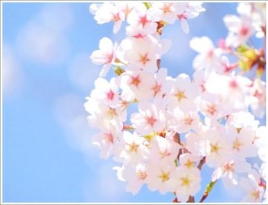 春、花、桜