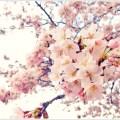 万博公園の桜の開花予想2018!見頃はいつ?場所取りは何時から?