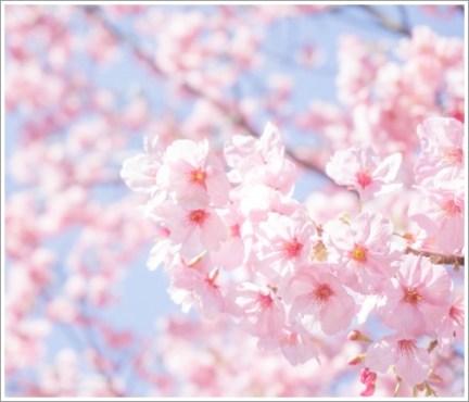 桜、花見、春