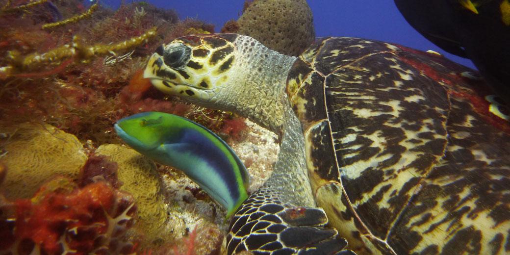 Hawksbill turtle and a Yellowcheek Wrasse