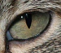 A cat with vertical slit pupils