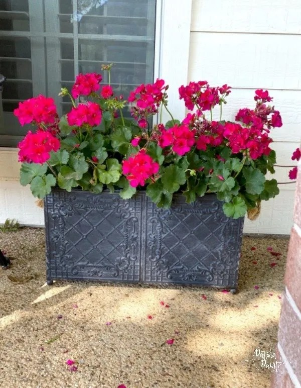 geraniums in black metal container