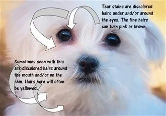 Maltese Tear Stains Exactly How To