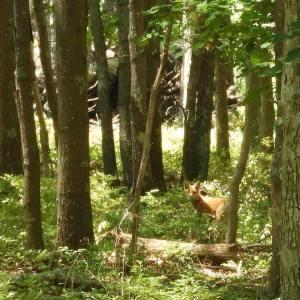 Hiking Red Fox