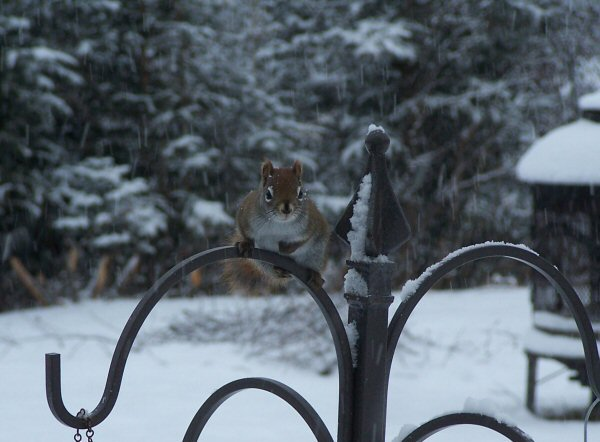wintersquirrel2