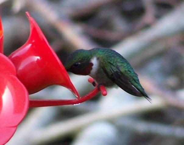 firsthummingbird8