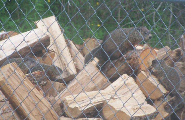 5 groundhogs