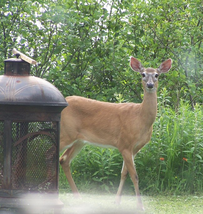 Deer on the Front Lawn