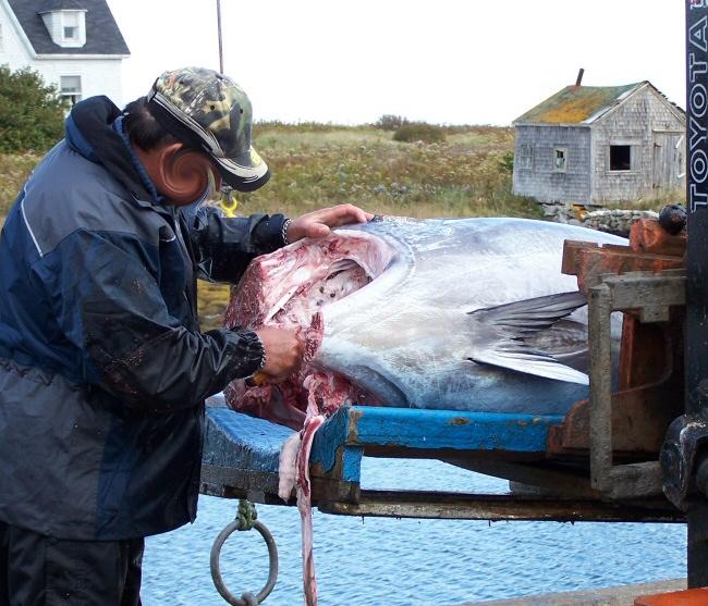 3 blue fin tunas