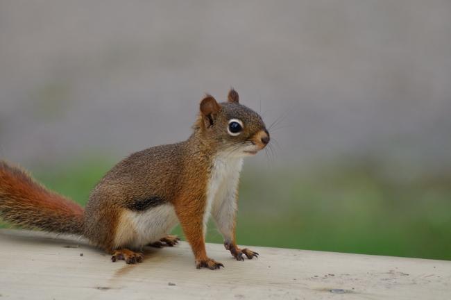 spy squirrel