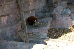 Red panda, aka, a Firefox!