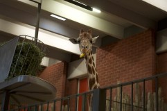 Giraffe buddy eating a banana