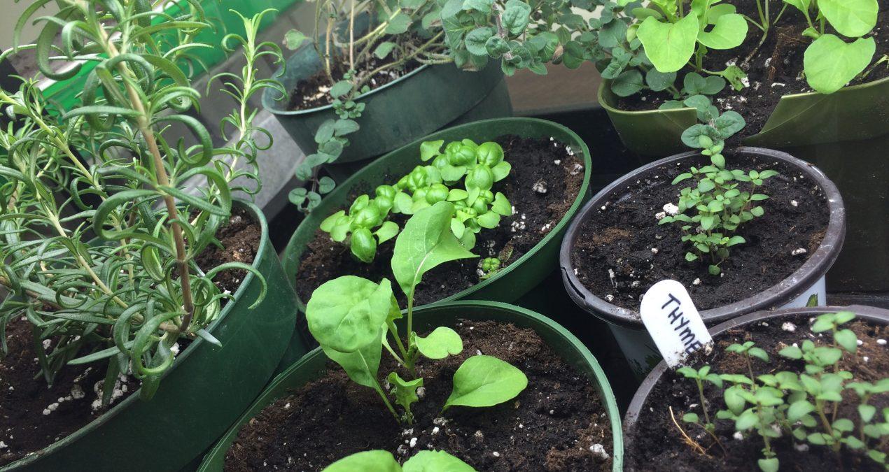 My indoor garden is growing!