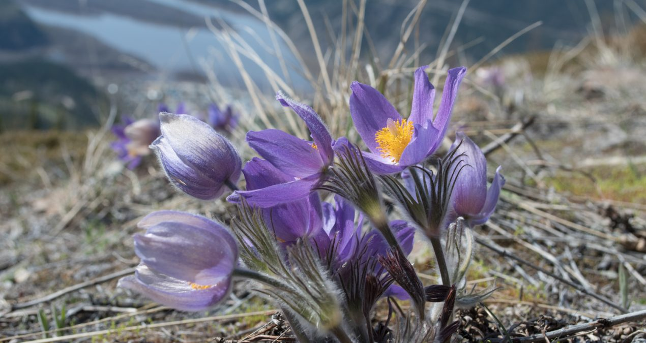 Crocuses everywhere!