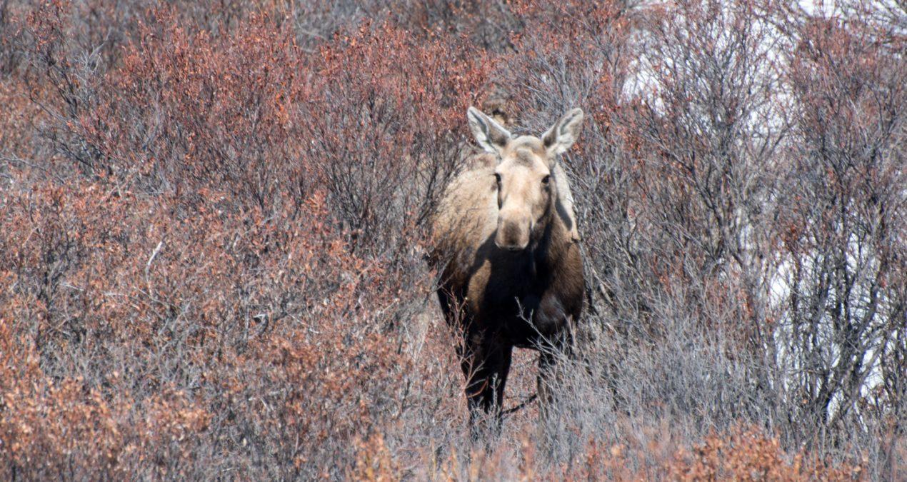 A moose, some caribou, and a ptarmigan