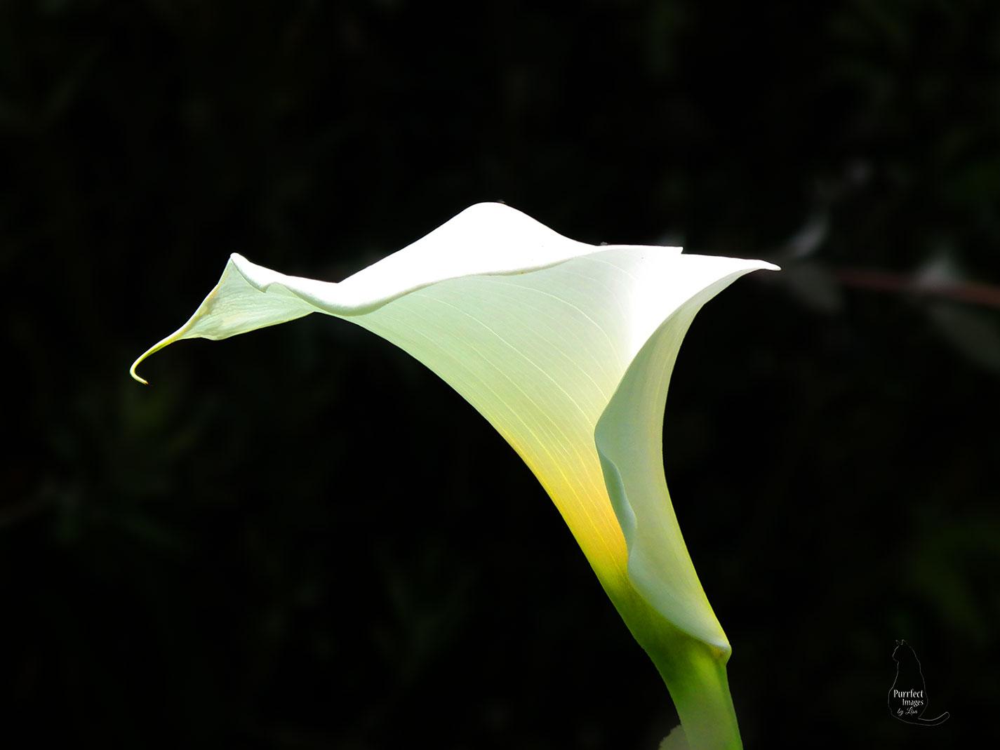 A White Calla Lilly