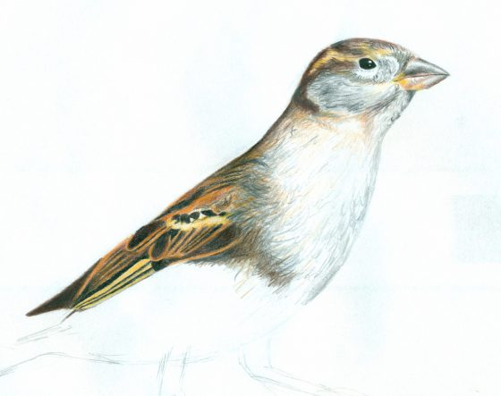 coloured pencil drawing of a bird by Lisa Cuthbertson