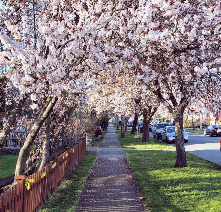 Cherry Blossom Trees.jpg