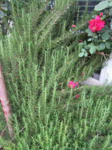 upright rosemary