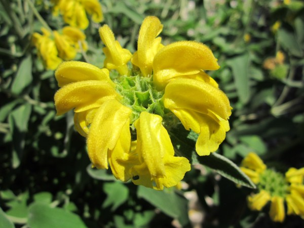 The Jerusalem Sage has a really fabulous flower form and a beautiful true sage color to the leaf.