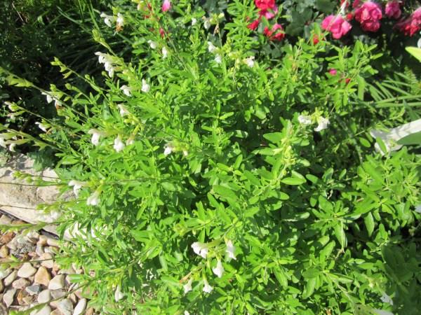 Salvia Greggi (White)