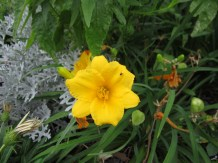 Daylily flowers range in colors and size from a few inches...