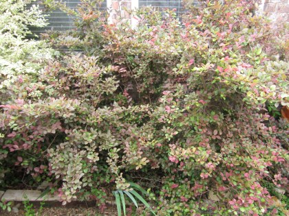 """If you have a bush that is crowded and out of control, you can """"tree it up"""""""