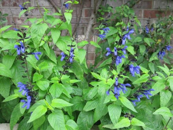 Black and Blue Sage