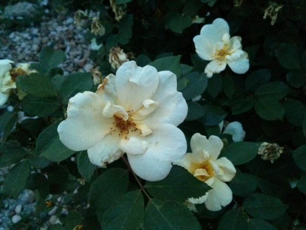 Yellow Knock Out Rose or any pale yellow or bright white rose.