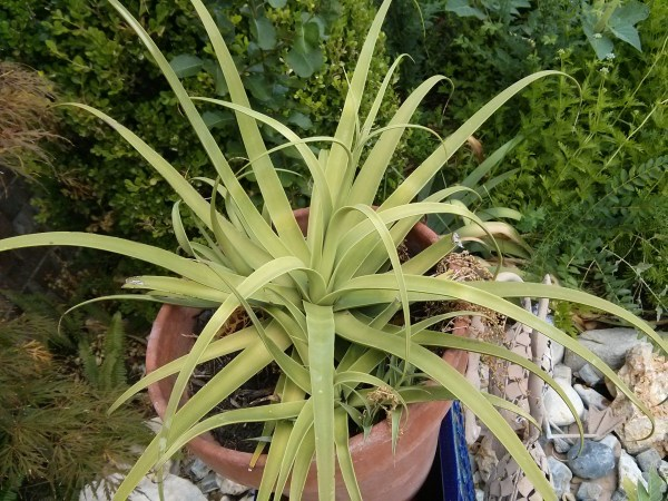 Squid Agave, (full to part sun)