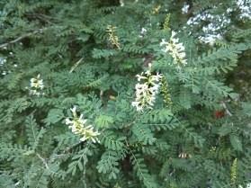 Kidney Wood Tree, lisa lapaso