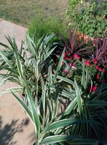 Flax Lily Dianella