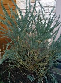 Acacia, lisa lapaso, landscape design