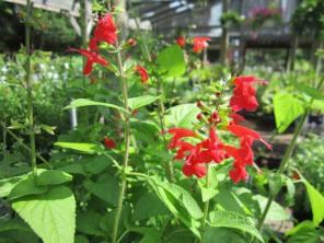 Tropical Sage, Lisa LaPaso, sun to shade