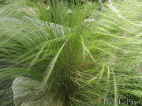 Mexican Feather grass, Lisa LaPaso
