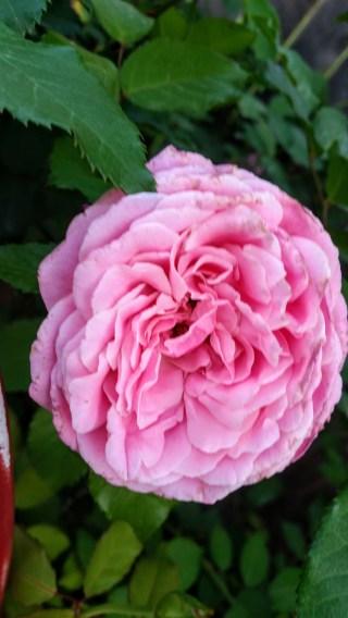Belinda's Dream Rose, Lisa LaPaso
