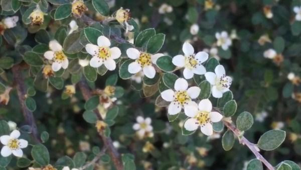 cotoneaster_lisa_lapaso_shrub_landscape_evergreen_drought_resistant