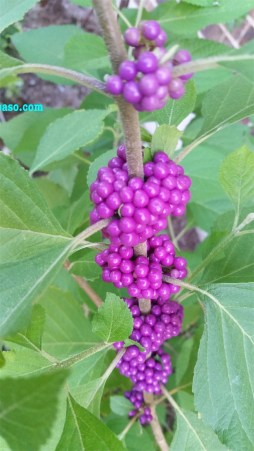 American beauty berry
