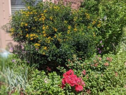 Texas flowering Senna