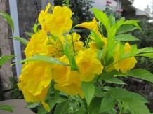 Yellow bells Esperanza