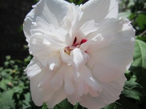 Althea, rose of Sharon