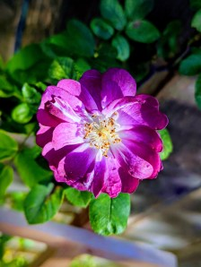 Blue Rambler Rose