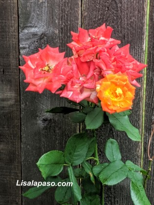 Piñata Climbing Rose