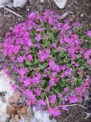 Pink Creeping Phlox