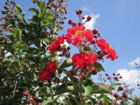 There are varieties of Crepe Myrtles for just about any landscape need.