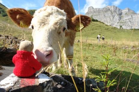 Teddy-B mit Kuh