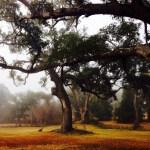 Old oaks on St. Charles