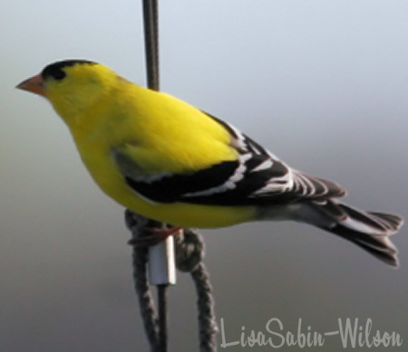 goldfinch birdwatching photography